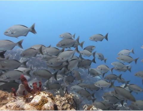 Lionfish PSA